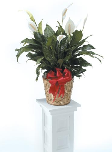Plant, Peace Lilly