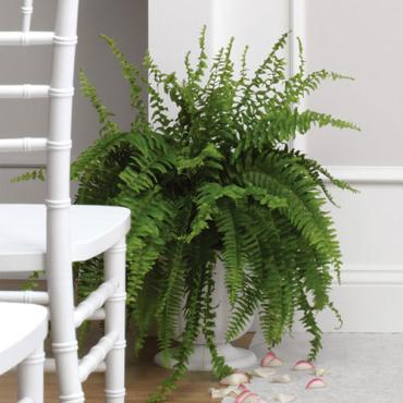 "Boston Fern Plant 6"", 8\"", 10\"""