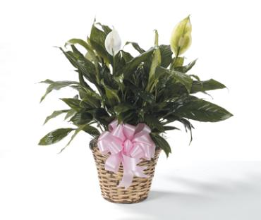 Green Plant, Peace Lilly